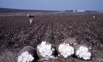 Agriculture cotton marocco (Image: M. Bolliger)